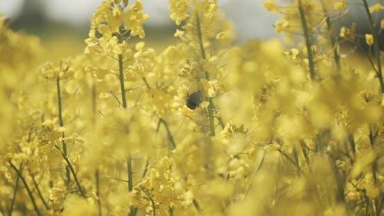 Bee Pollinating on Canola Flowers in an Open Rapeseed Field in Denmark