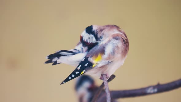 Thumbnail for European Goldfinch or Goldfinch, Carduelis Carduelis. Small Passerine Bird
