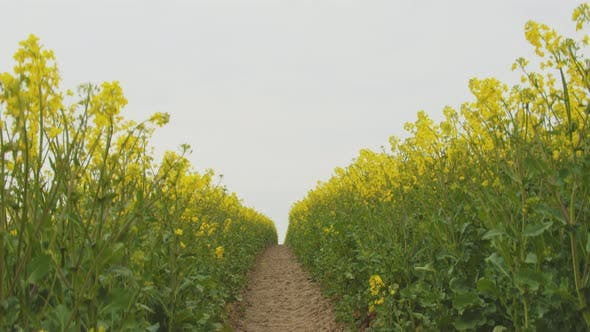 Thumbnail for Ground Up Revealing the Vast Fields of Canola Flowers