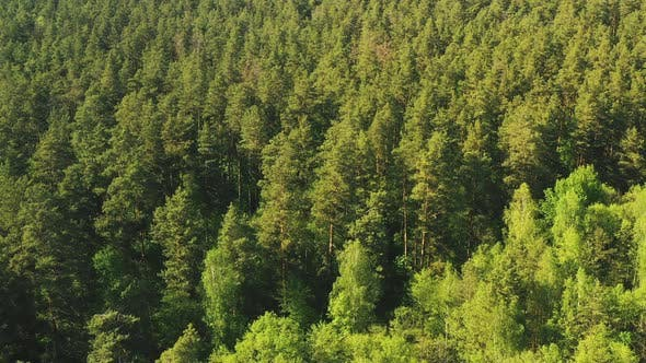 Thumbnail for Tall Pine Trees in the Forest. Summer Forest From Above