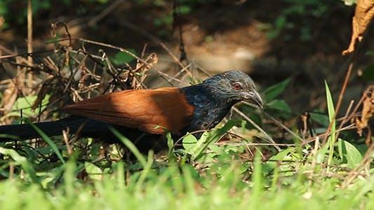 Thumbnail for Crow Pheasant (Centropus sinensis) Pack 2