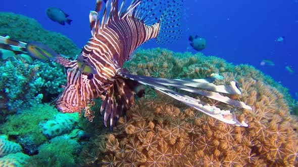 Cover Image for Lionfish and Soft Coral