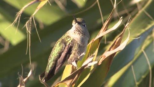 Annas Hummingbird Immature Lone Resting in California