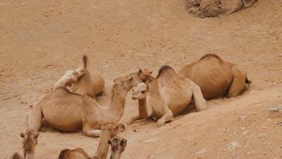 Camel Chilling in Savanna Park