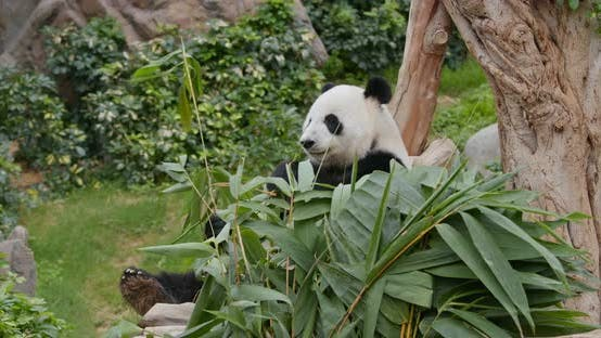 Thumbnail for Panda eat bamboo at zoo park