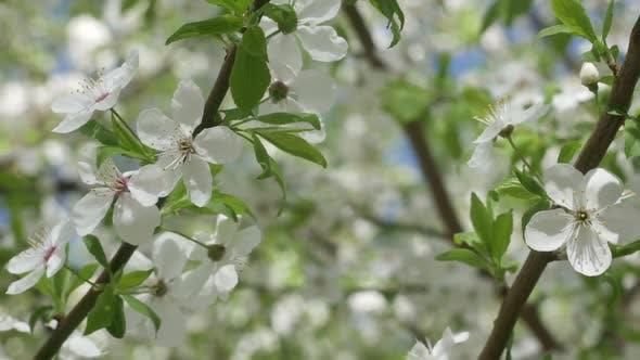 Thumbnail for Weiße Sakura Blumen