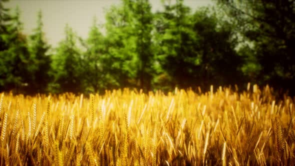 Thumbnail for Scene of Sunset or Sunrise on the Field with Young Rye or Wheat in the Summer