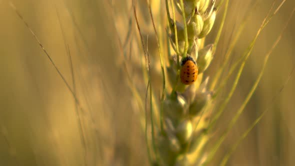 A Small Insect Sits on a Yellow Wheat Spikelet Close-up.