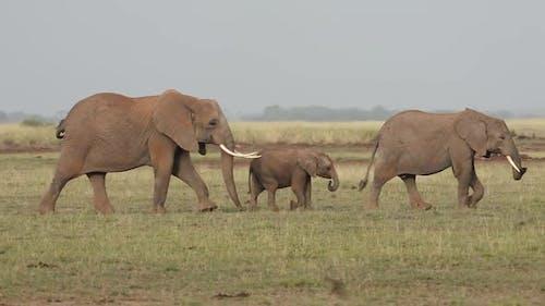 Elephants Walking in Line