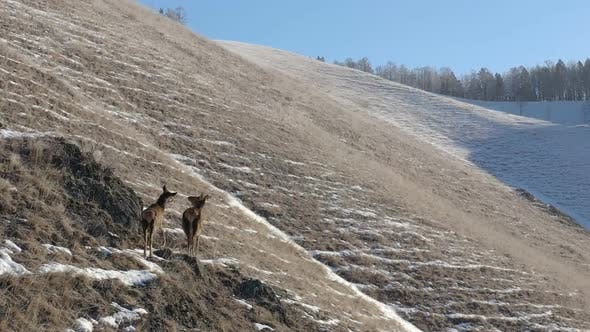 Thumbnail for A Female Deer with a Baby on the Mountainside.