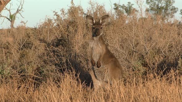 Western Grey Kangaroo Adult Lone Alarmed Nervous Wary in New South Wales