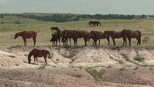 Horse Adult Herd Many Standing in Summer in South Dakota