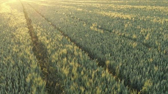 Thumbnail for Golden hour light over the wheat (Triticum aestivum) 4K aerial video