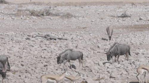 Wildebeest Walking To Waterhole
