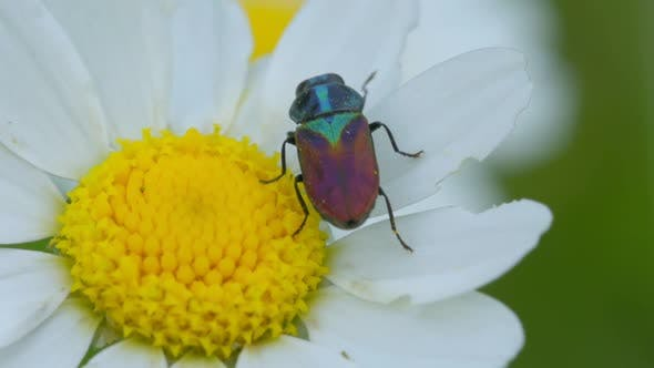 Thumbnail for A Bug on a Daisy Flower