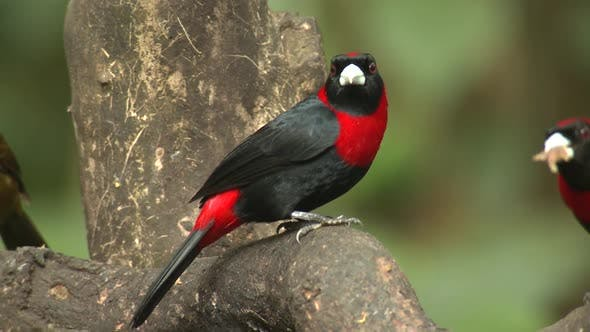 Thumbnail for Crimson-collared Tanager Adult Several Perched Looking Around