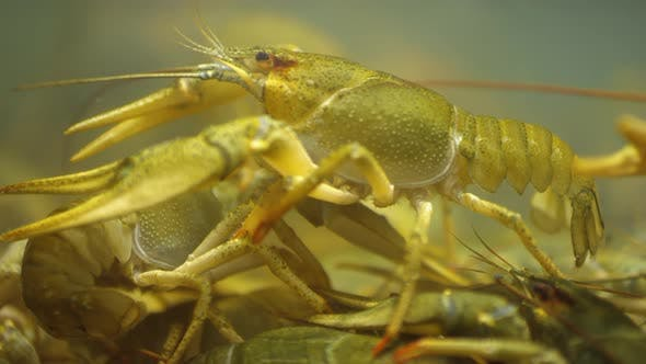 Thumbnail for Live Crayfish Walking in Water Tank