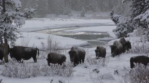 Bison Adult Immature Herd Many Walking Moving in Winter in Yellowstone National Park Wyoming