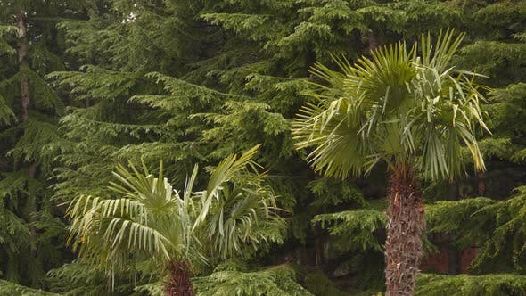 Thumbnail for Two Palm Trees On the Background Of Coniferous Trees