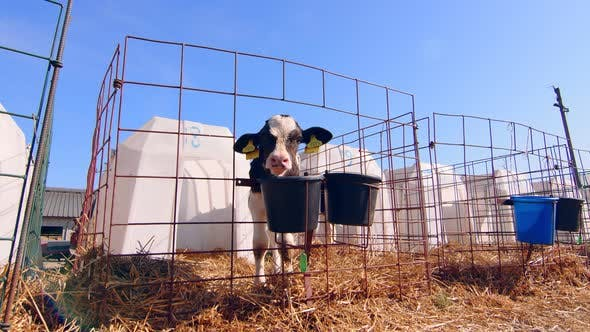Livestock Farm. Little Calf on the Farm. Nursery with Small Calves on a Dairy Farm. A Little Calf