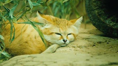 Cat - Felis Margarita Dozing in the Sand