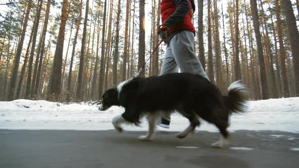 Cover Image for Border Collie Walking on Forest Road