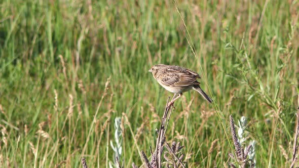 Thumbnail for Grasshopper Sparrow Bird Calling Communicating Singing Song in Prairie Grassland in Summer