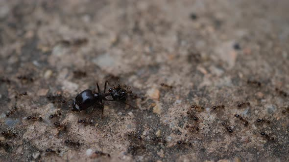 Black House Ant teamwork walking work in the nature