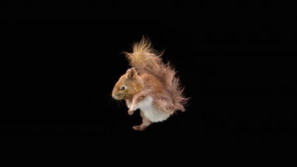 Squirrel Dancing HD