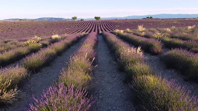 Lavender Field in Valensole