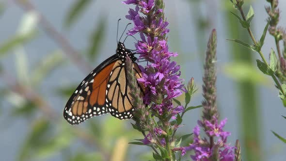 Monarch Adult Lone in Summer Exotic Plant Pollination in South Dakota