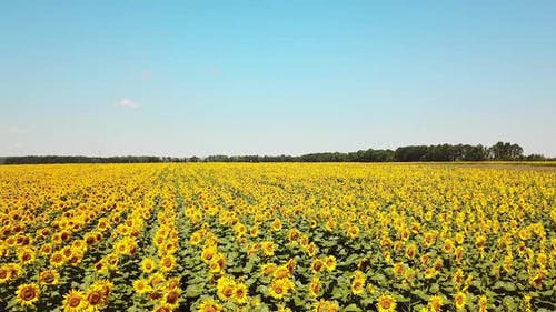 Aerial view. Sunflowers field on sky background. Agriculture, agronomy and farming concept.