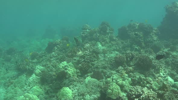 Thumbnail for Green Sea Turtle Alone Swimming in Hawaii