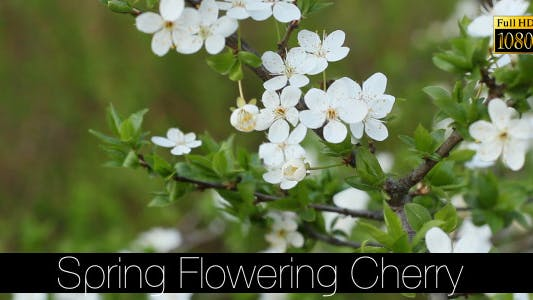 Cover Image for Spring Flowering Cherry