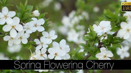 Thumbnail for Spring Flowering Cherry 2