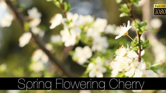 Thumbnail for Spring Flowering Cherry 3