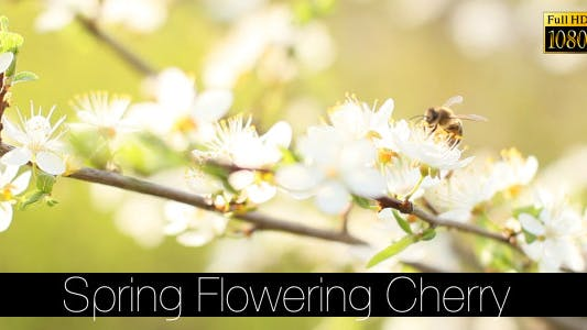 Thumbnail for Spring Flowering Cherry 4