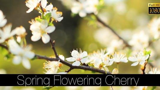 Thumbnail for Frühlingsblühende Kirsche 5