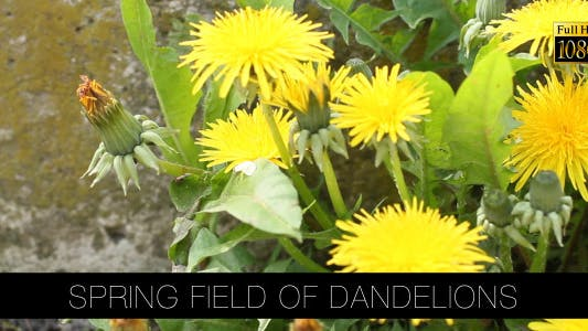 Thumbnail for Spring Field Of Dandelions