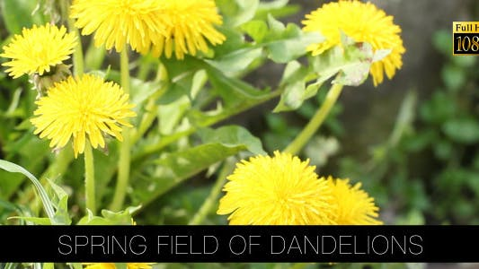 Thumbnail for Spring Field Of Dandelions 2