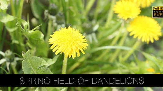 Thumbnail for Spring Field Of Dandelions 3