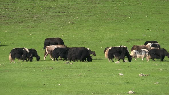 Thumbnail for Yaks and Cattle Grazing in the Meadow