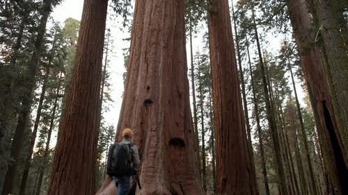 Giant Redwood Sequoia Forest