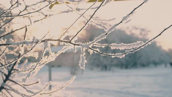 Fresh White Frost on Twigs in Morning Winter Park at Sunrise