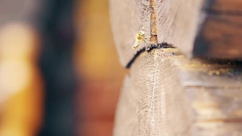 Macro, Slow Motion: Bees Arrive, Take Turns, Bring Building Material, Build a Nest, Between Logs, in