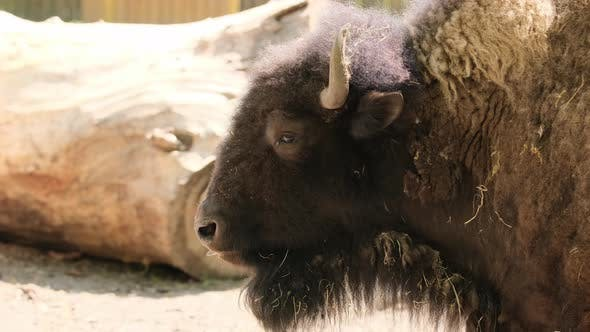 Bison Lone in Summer Notrils Nose Mouth Tongue
