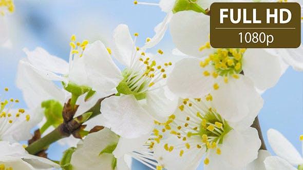 Thumbnail for Wild Plum Flower Blossoming