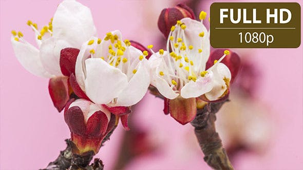 Thumbnail for Apricot Flower Blossoming