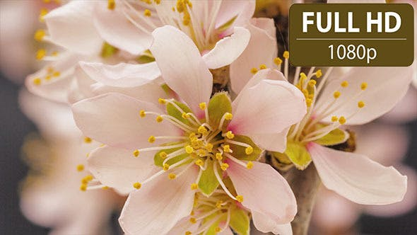 Thumbnail for Apricot Flower Blossoming 3