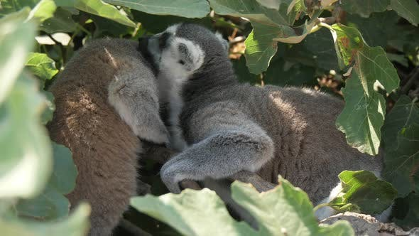 Thumbnail for Funny Lemurs Playing and Cleaning the Fur of Each Other in a Leafy Tree in Summer